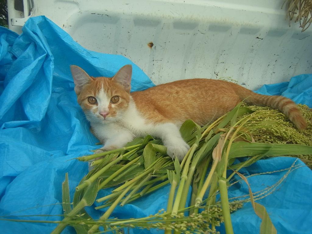 キビの穂と茶トラ白猫。