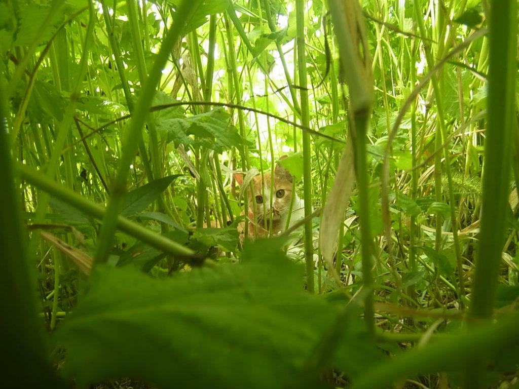 草むらの中に茶トラ白猫。