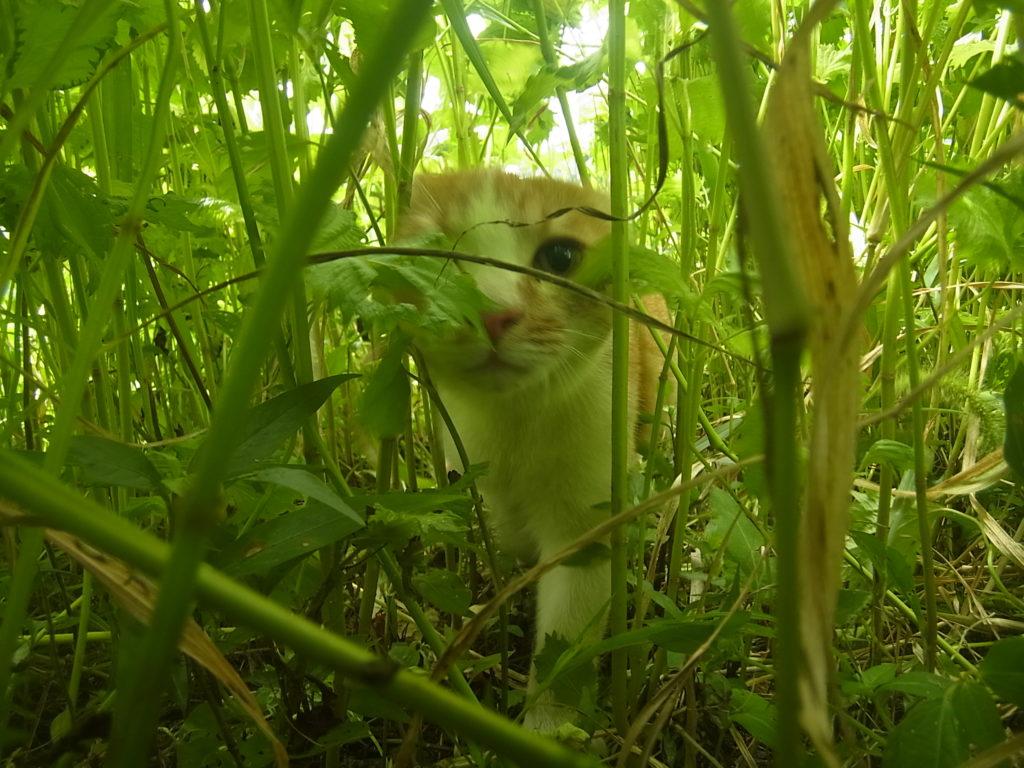 近寄ってくる茶トラ白猫。