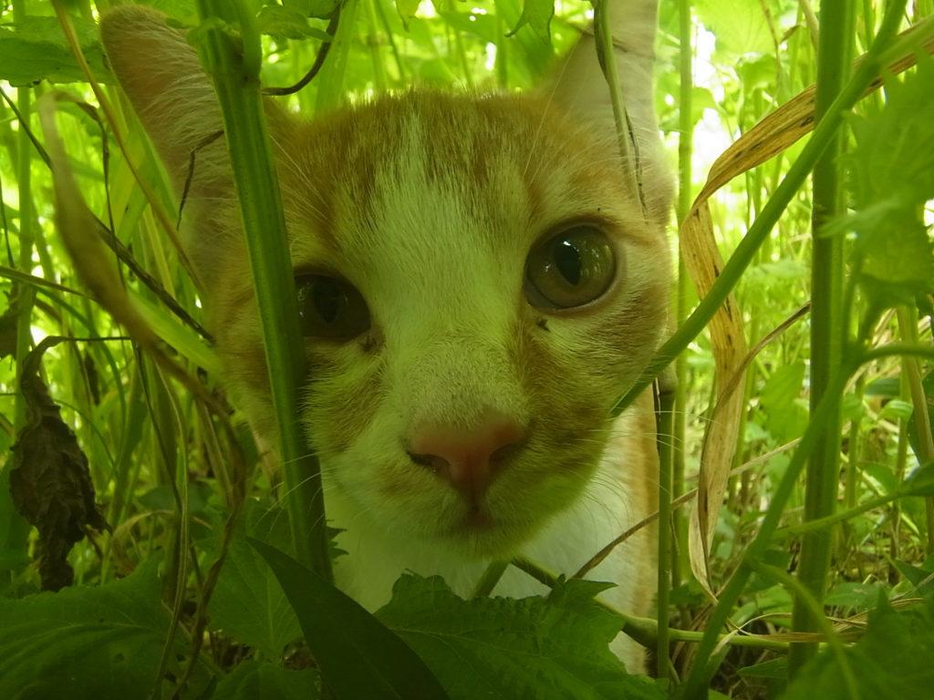 茶トラ白猫のアップ。