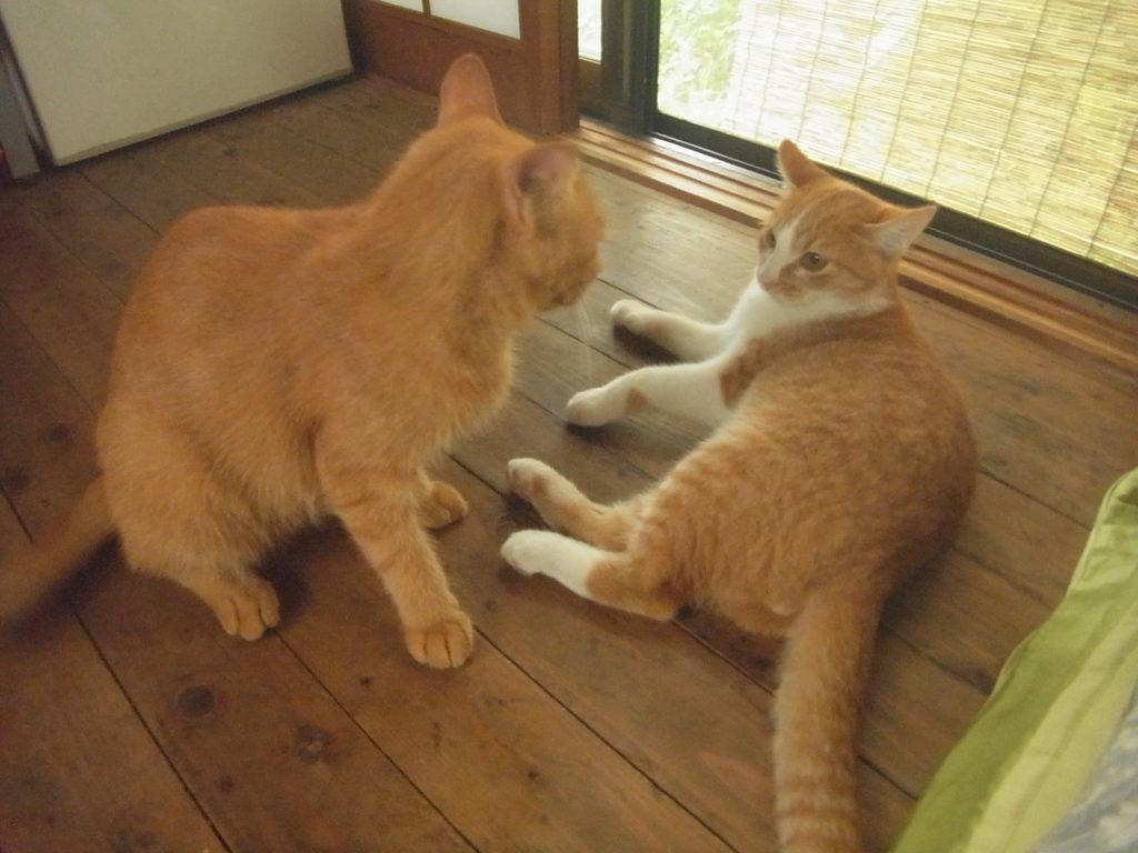 母猫と茶トラ白猫の喧嘩の練習。