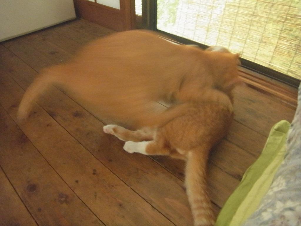 母猫が茶トラ白猫に飛びかかる。