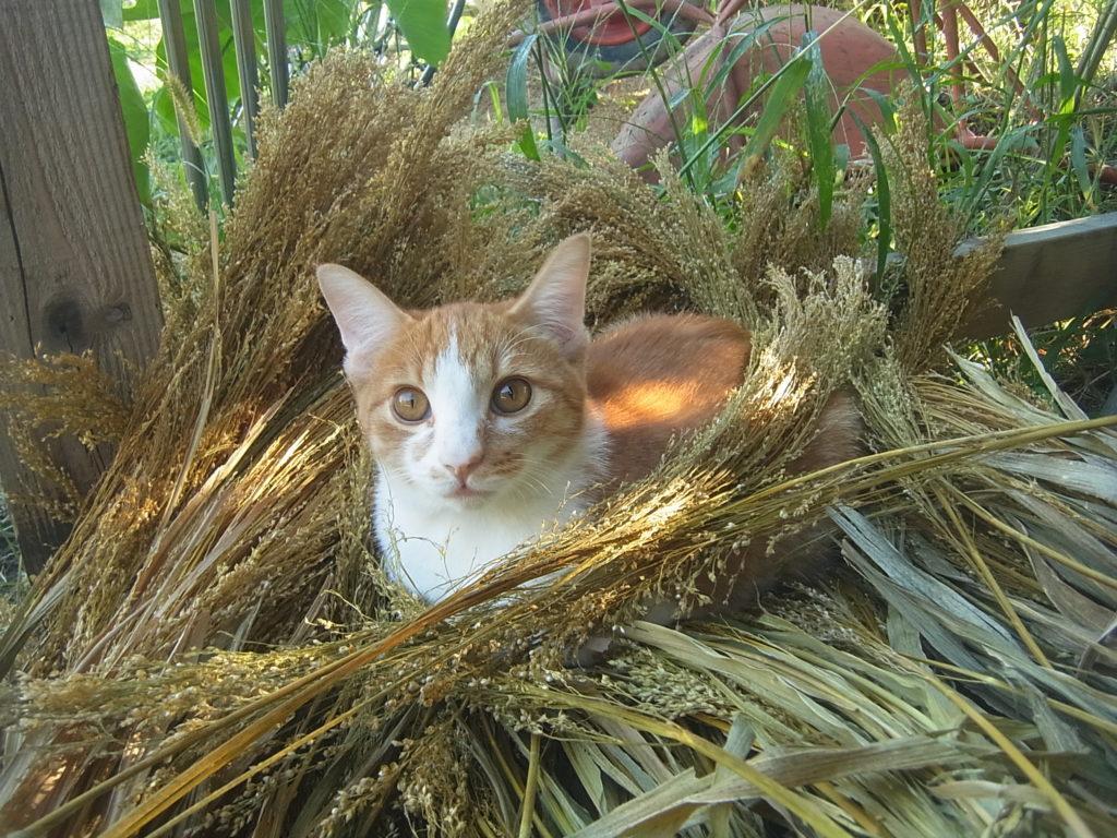 キビの穂に囲まれる茶トラ白猫。
