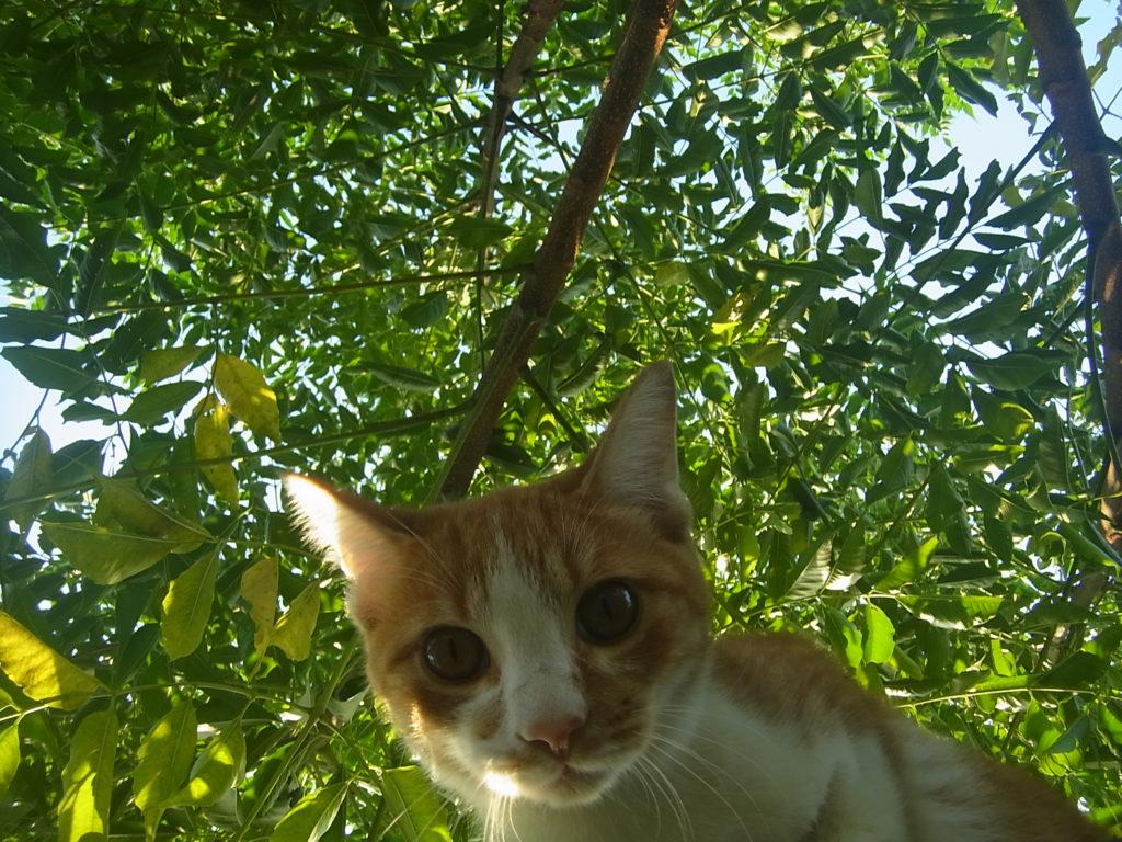 センダンの木をバックに茶トラ白猫。
