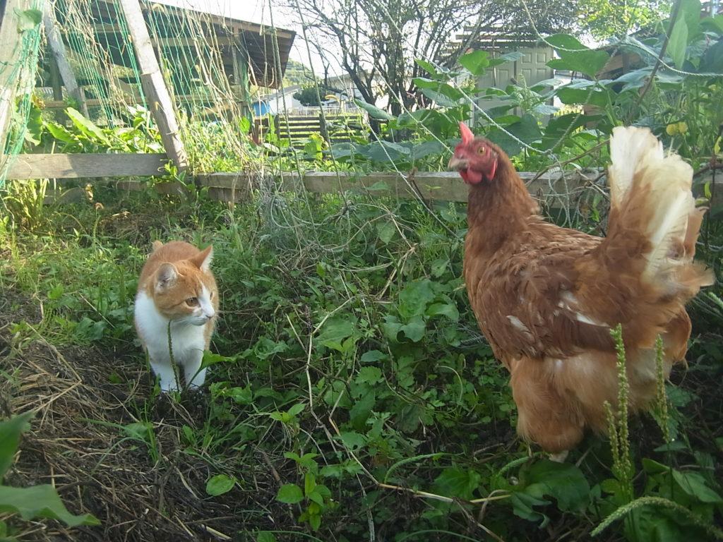 鶏VS茶トラ白猫。