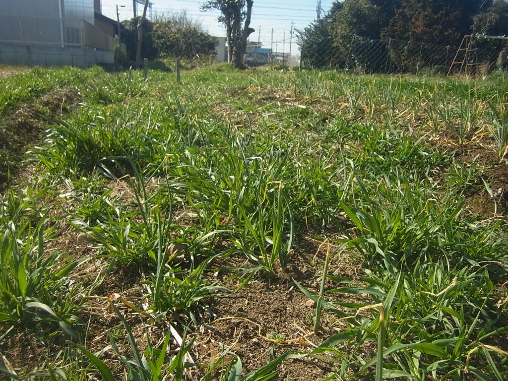 玉ネギの除草前。
