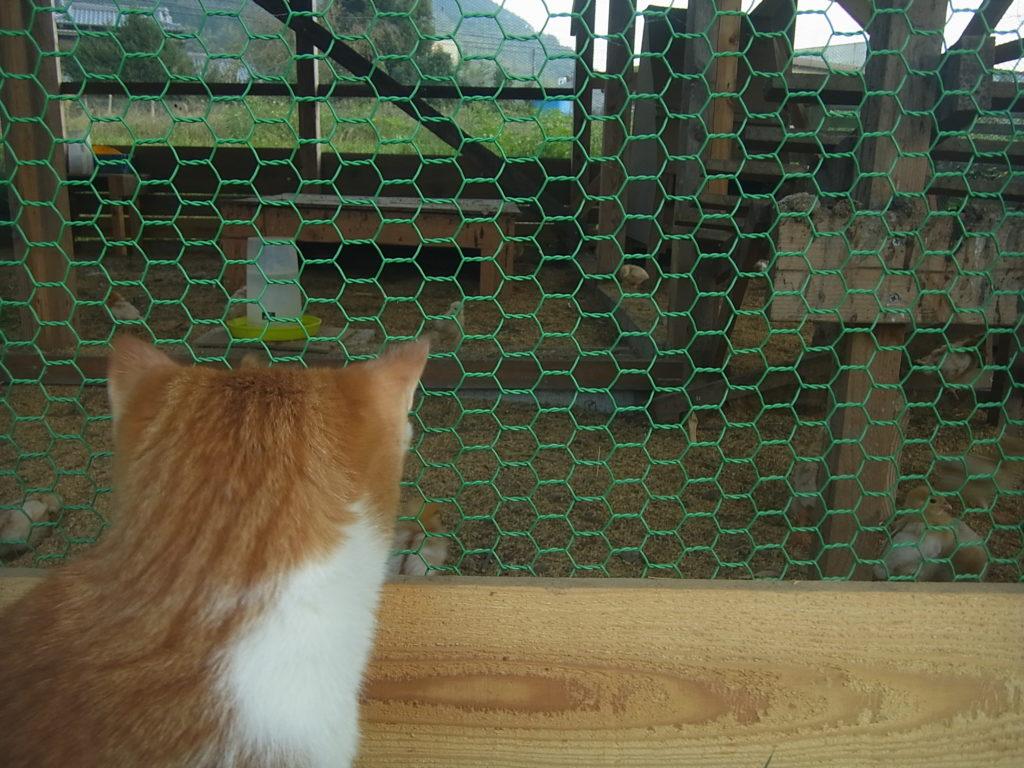 ヒヨコを見つめる茶トラ白猫。