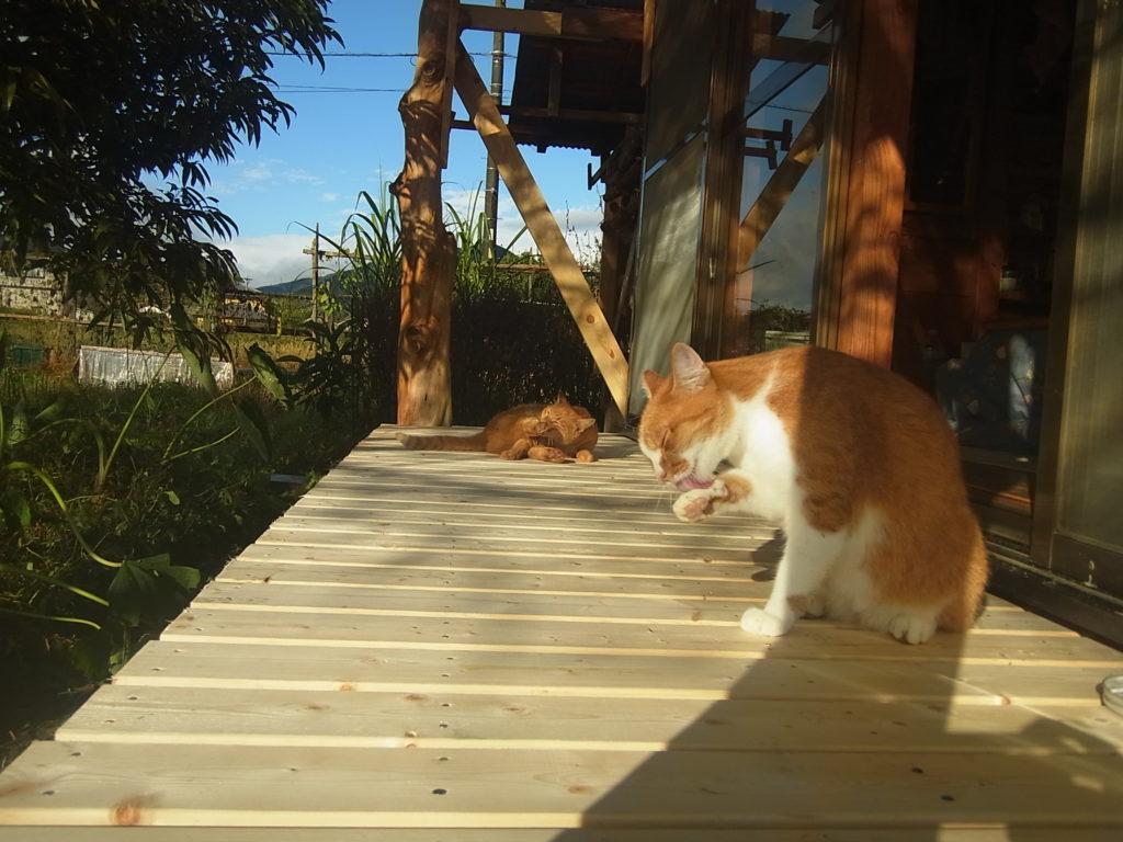 縁側で毛づくろいする茶トラ白猫。