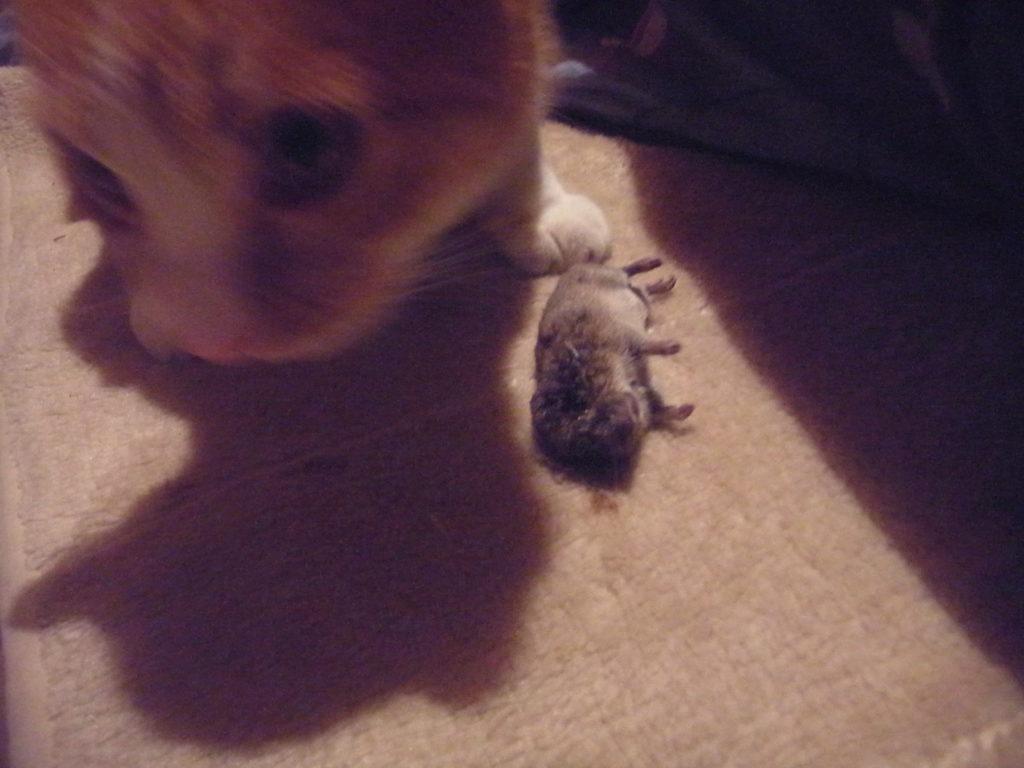 ネズミを捕まえてきた茶トラ白猫。