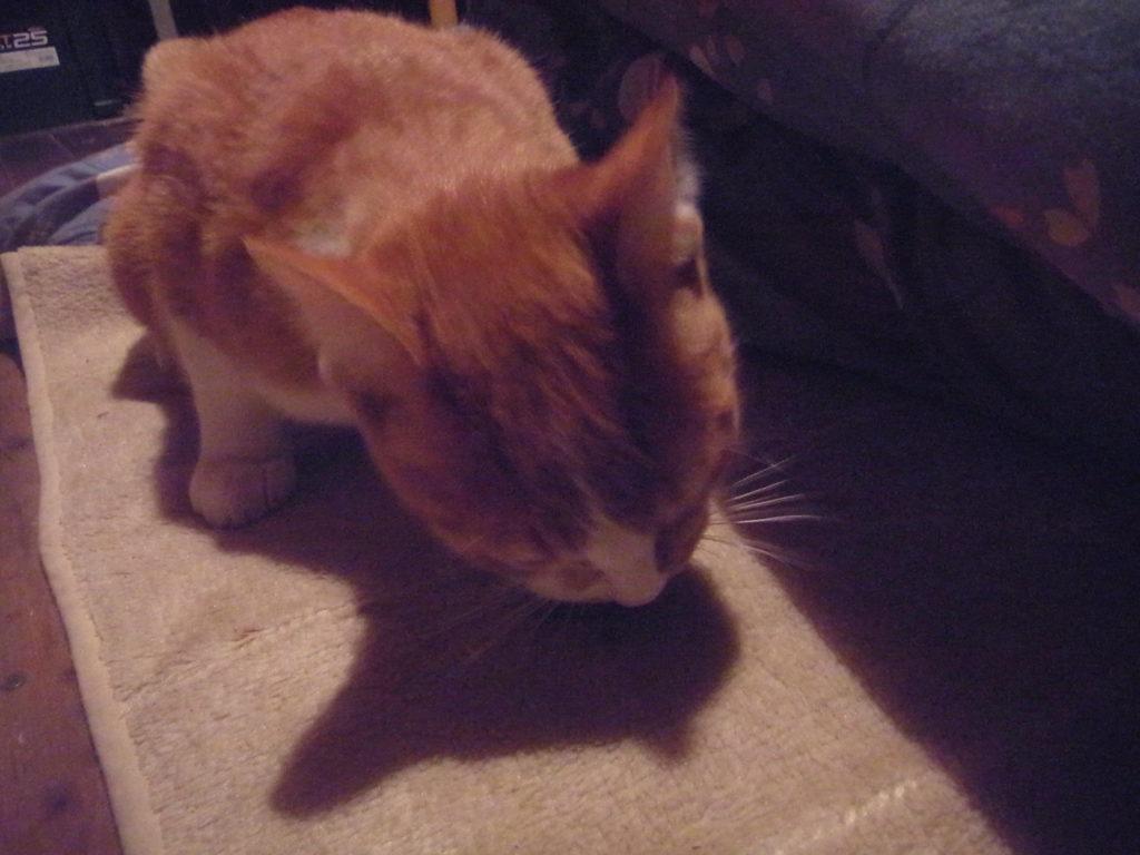 ネズミを食べる茶トラ白猫。