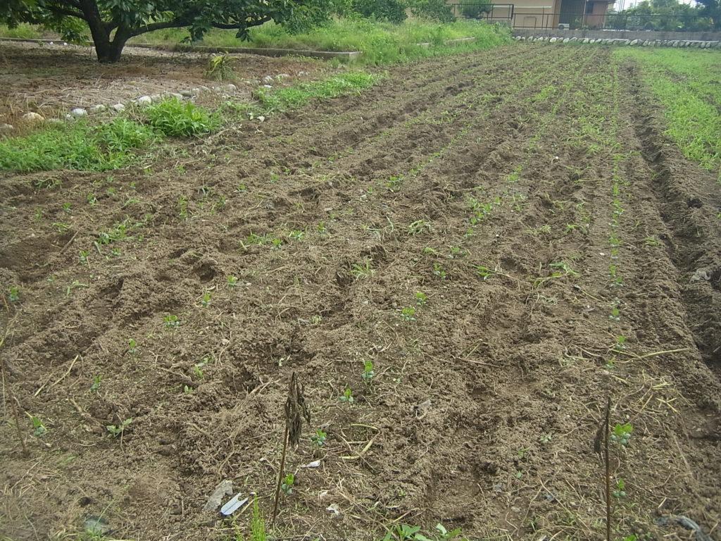 大豆畑の中耕除草。