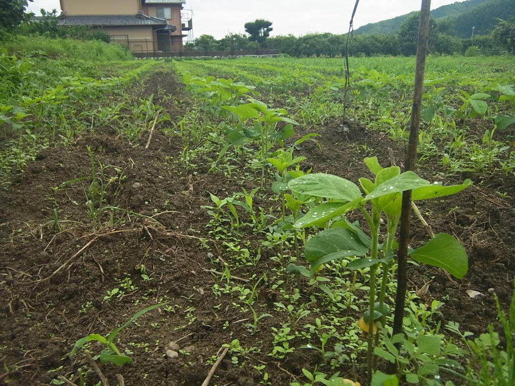 大豆が10cmくらいに成長。