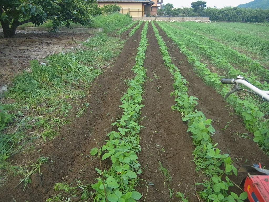 大豆畑、2回目の中耕除草。