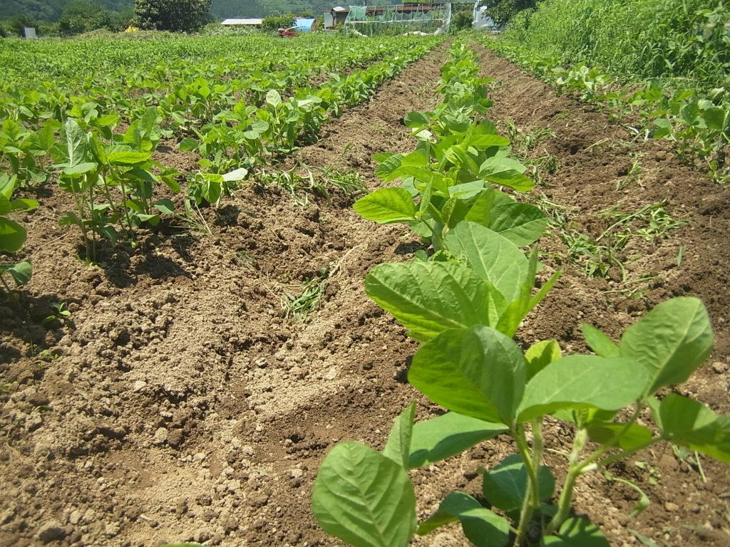 綺麗に除草された無農薬大豆畑。