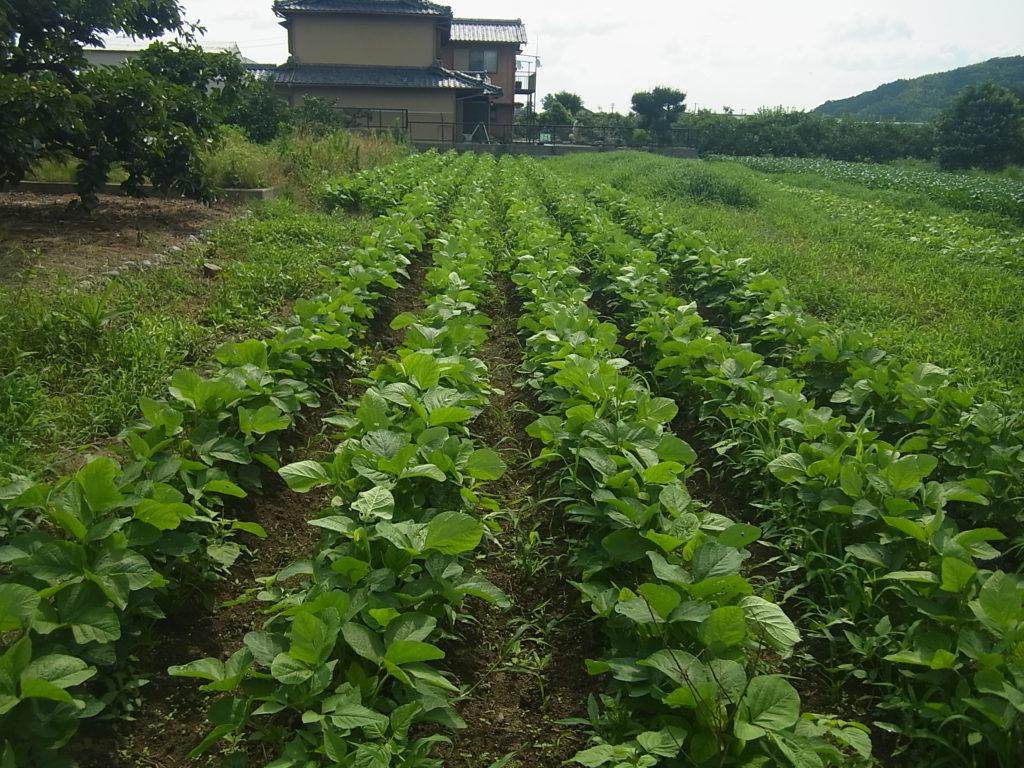 大豆畑の成長過程。