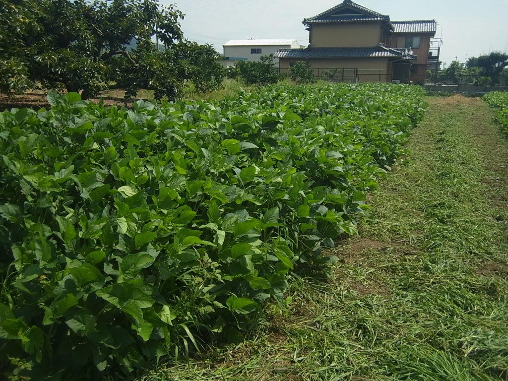 大豆の外周を除草。