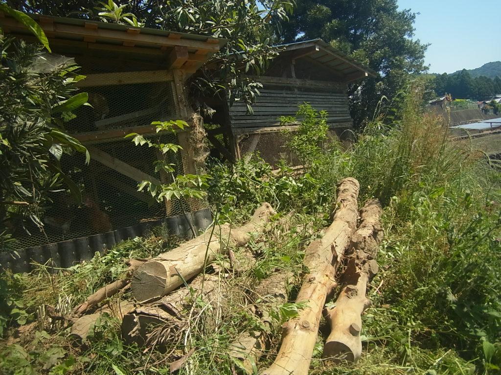 伐採してあった槙の木。