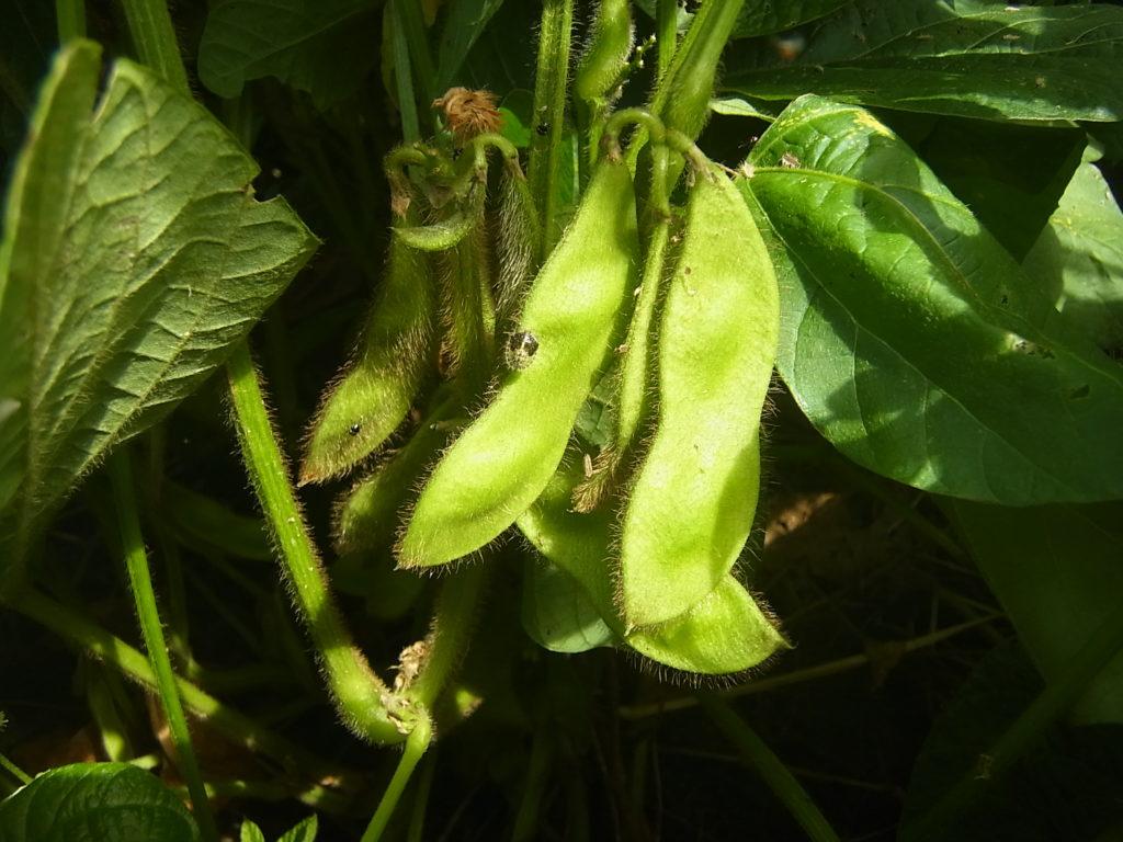 ちいsな大豆のサヤ。