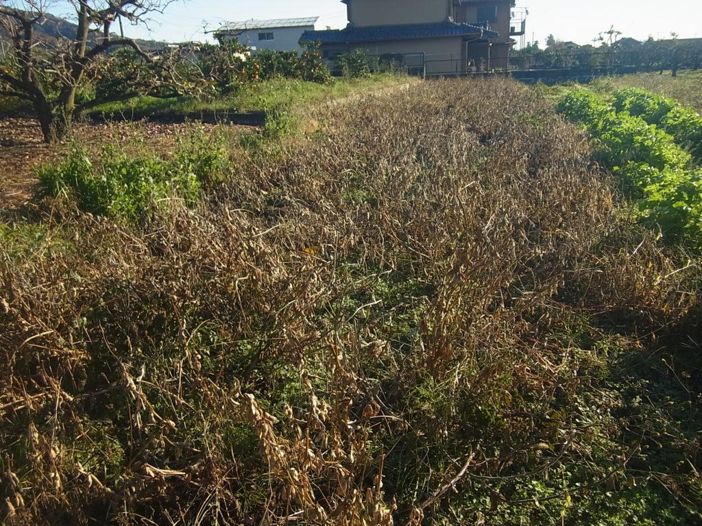 茶色くカラカラに枯れてきた大豆。