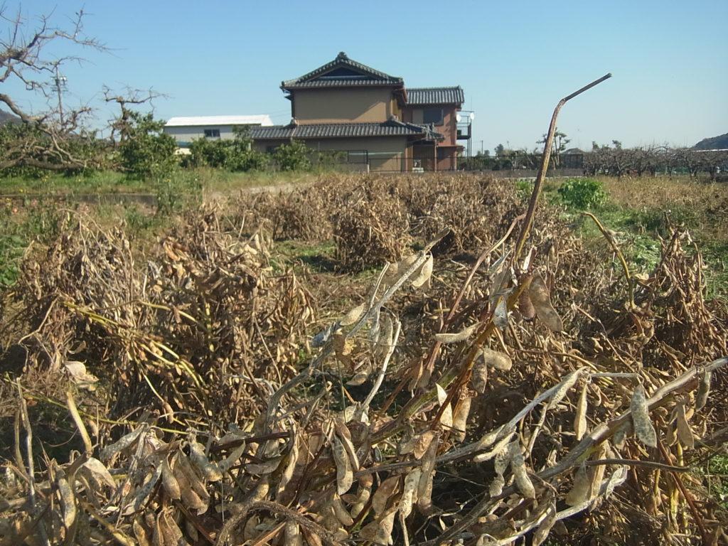 抜き取った大豆の株を島立てにする。