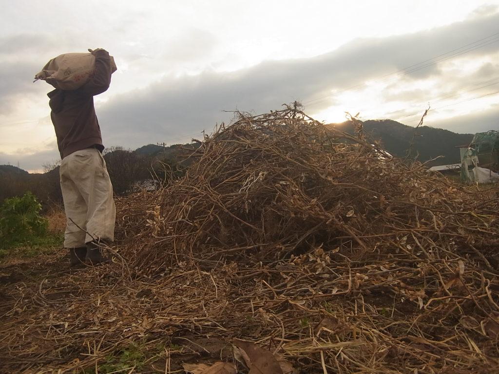 脱穀し終わった、大豆の株と収穫した大豆。
