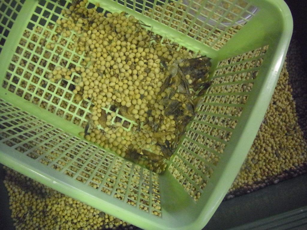 荒いフルイにかけて大豆を選別。