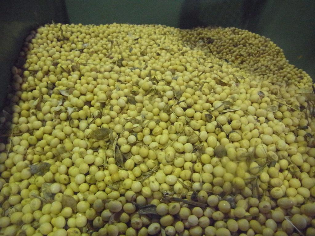 選別された大豆。