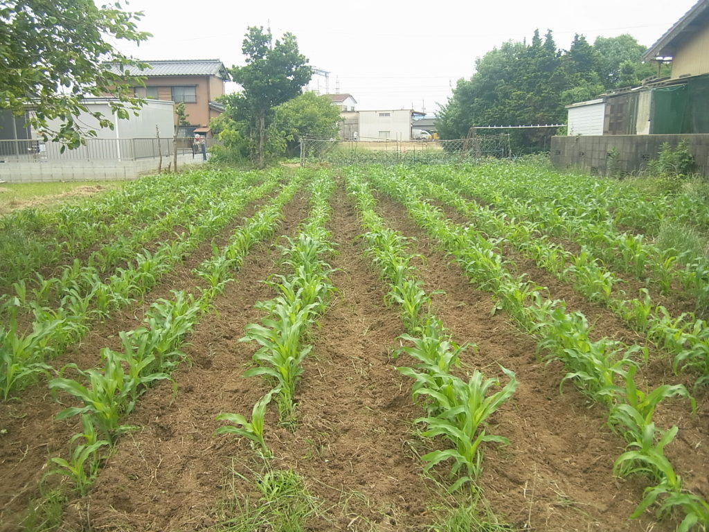 中耕除草したトウモロコシ畑。