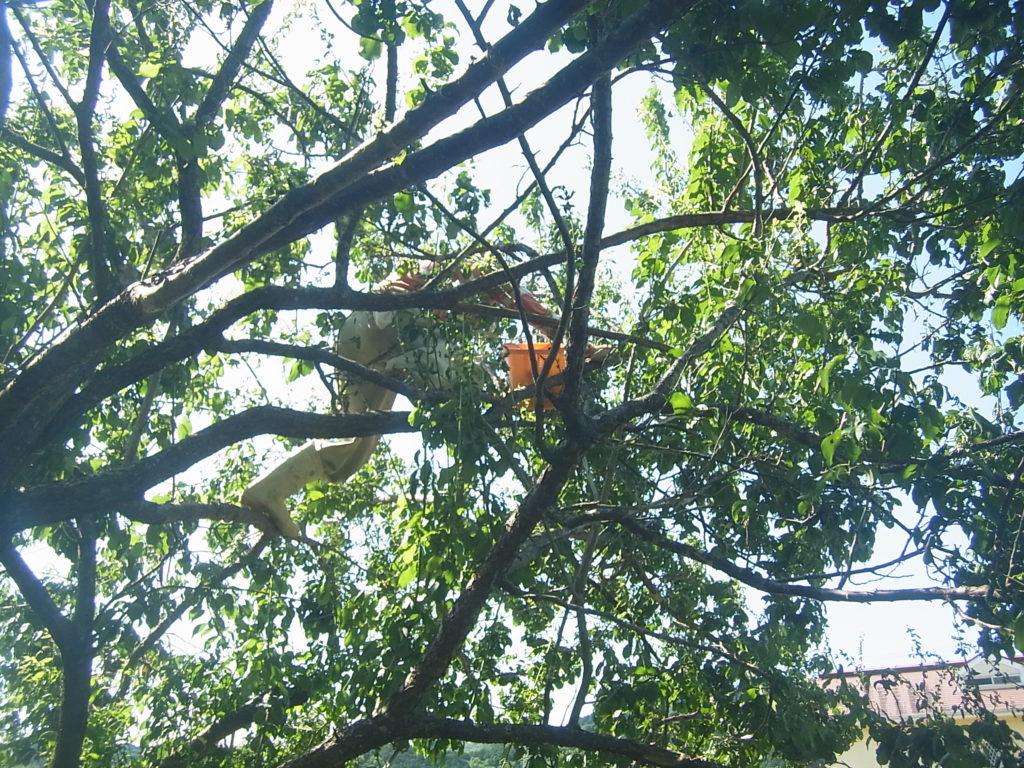梅の木に登って収穫。