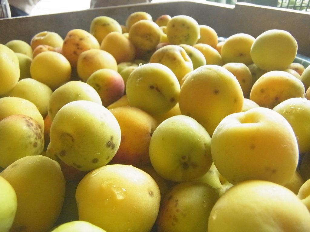 黄色く熟れた完熟梅。