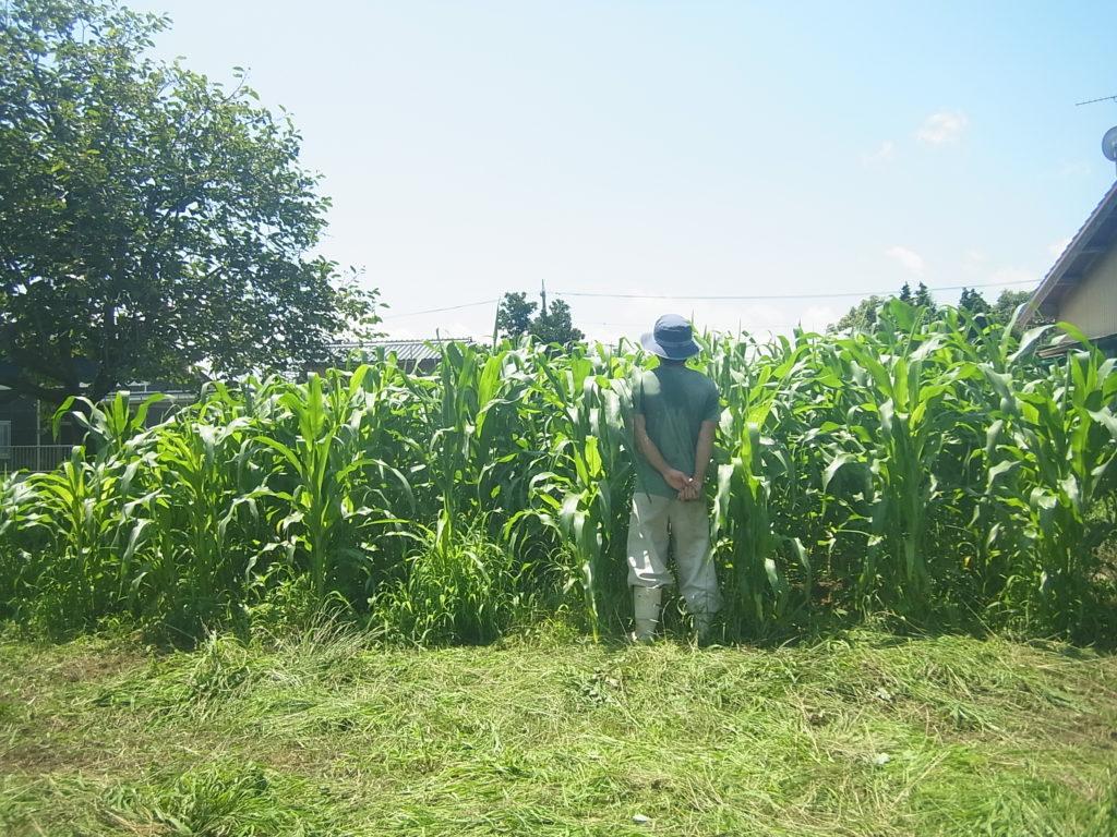 背丈ほどに成長したトウモロコシ畑。