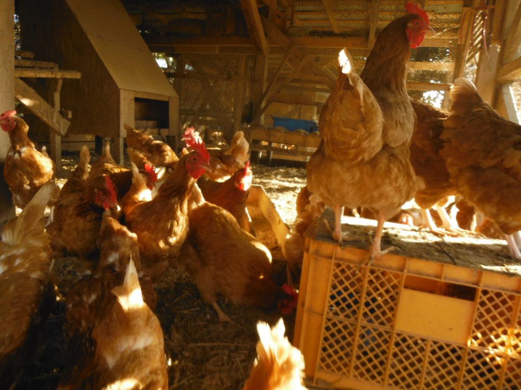 実際に鶏舎で、鶏籠を使用する。