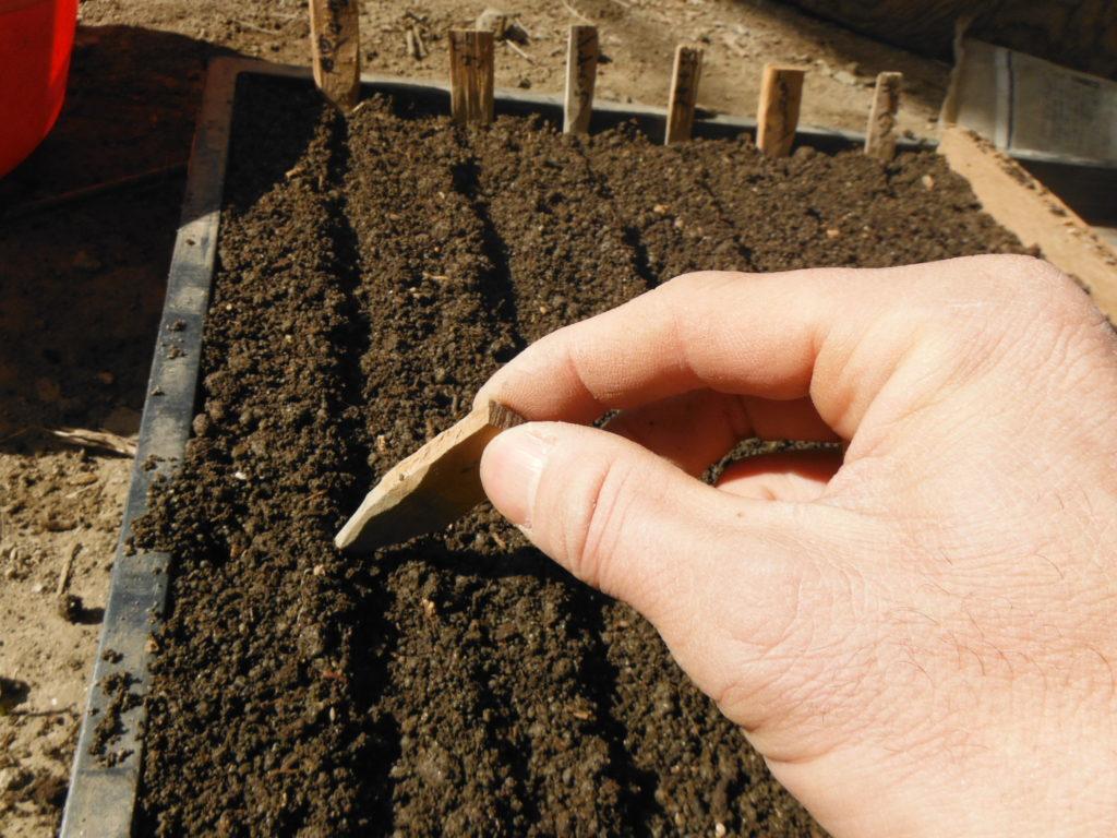育苗箱で種を蒔く準備。