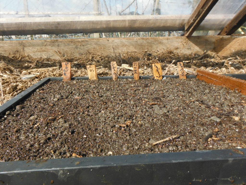 播種したナス科を踏み込み温種にセットする。