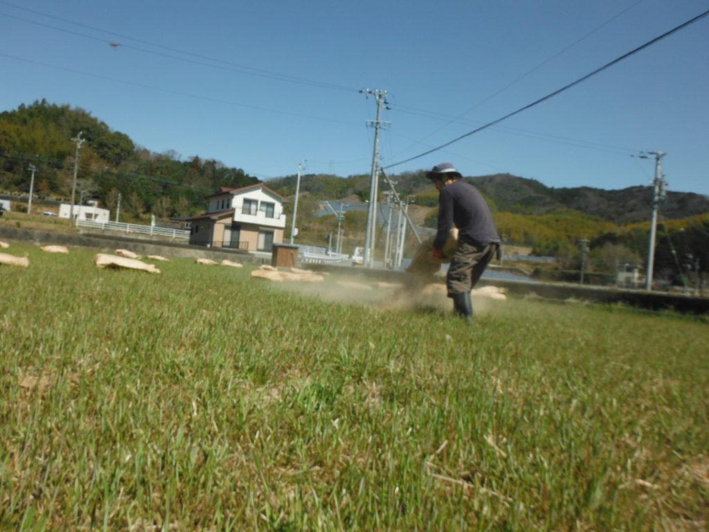 田んぼに鶏糞堆肥をまく。