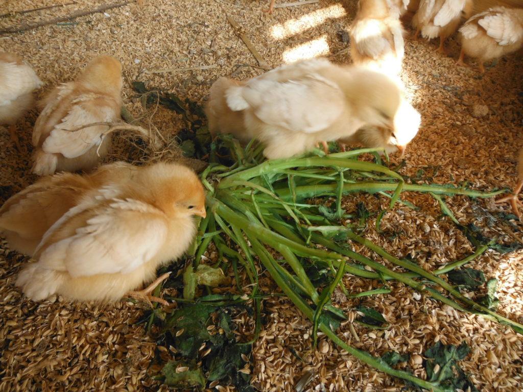 平飼い育雛で、草を食べるひよこ。