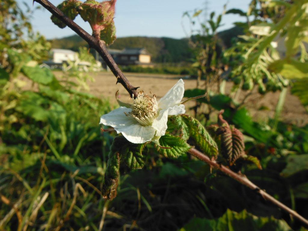 クサイチゴの花。