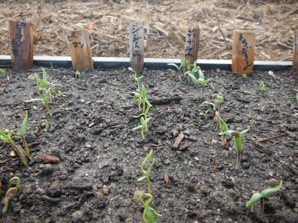 シシトウ、ピーマンも発芽。