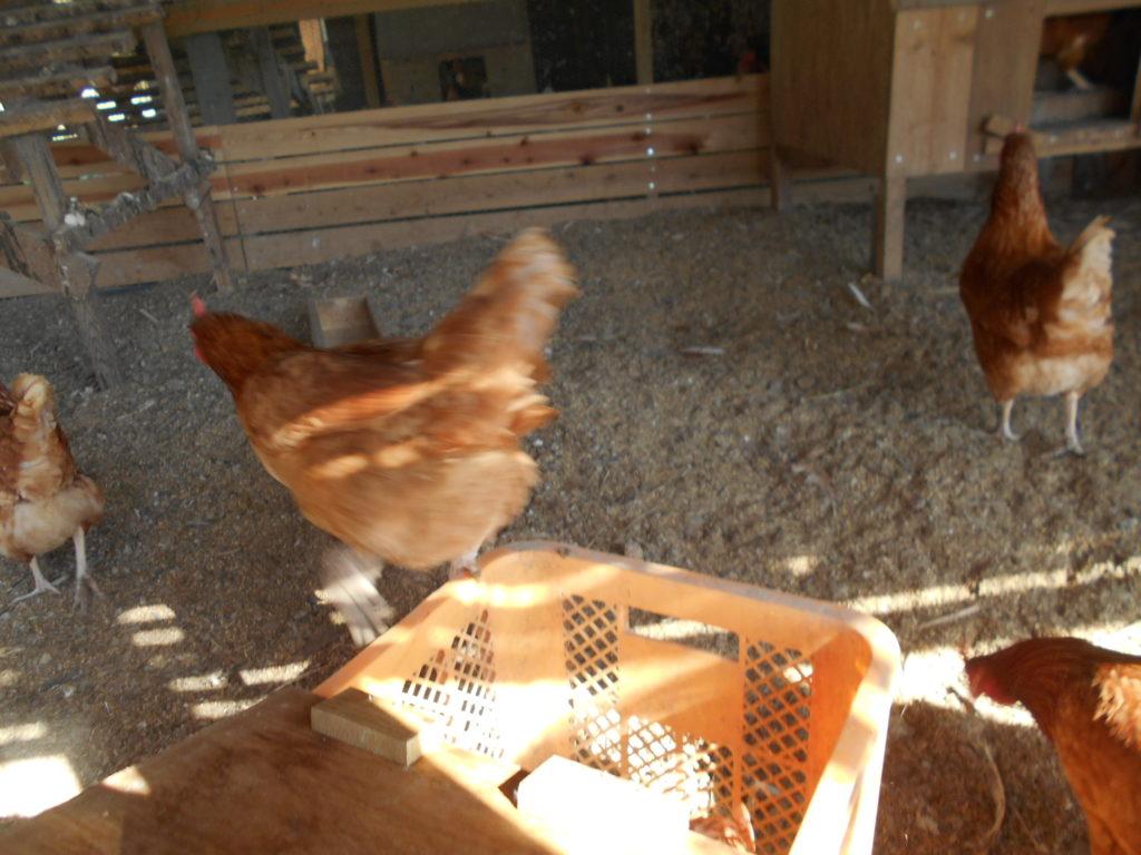 自作の鶏籠の蓋の裏。