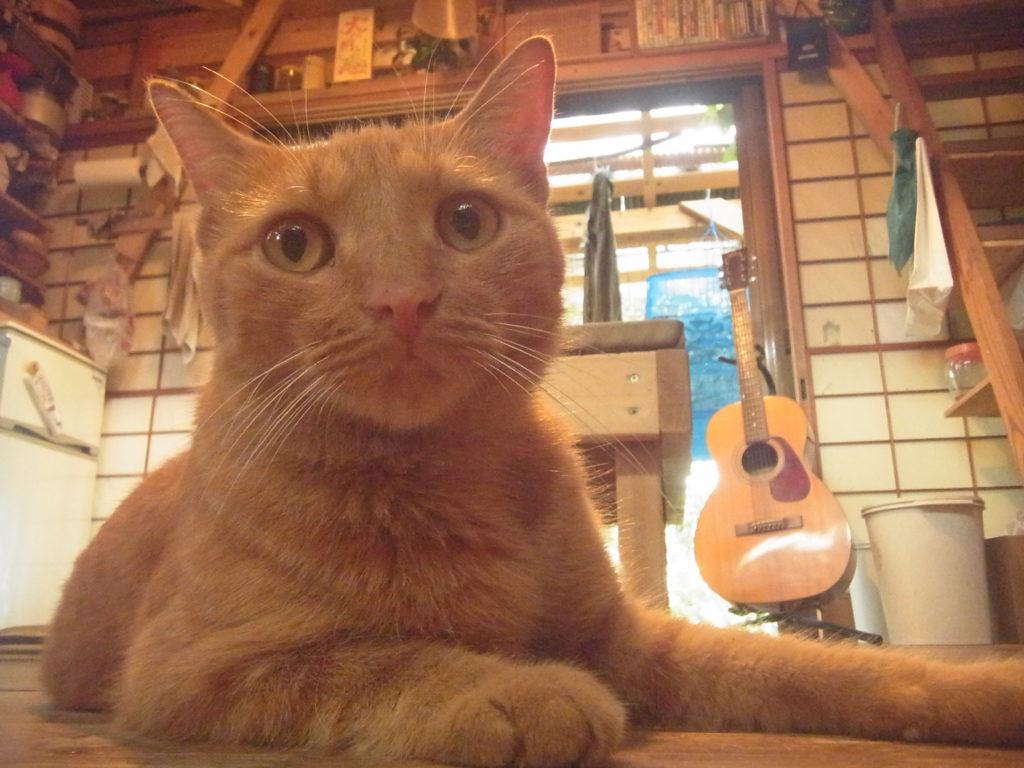 スモールハウスでくつろぐ茶トラ猫。