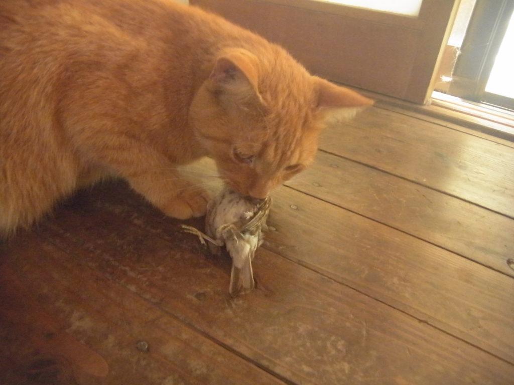 茶トラ猫スズメを捕まえてくる。