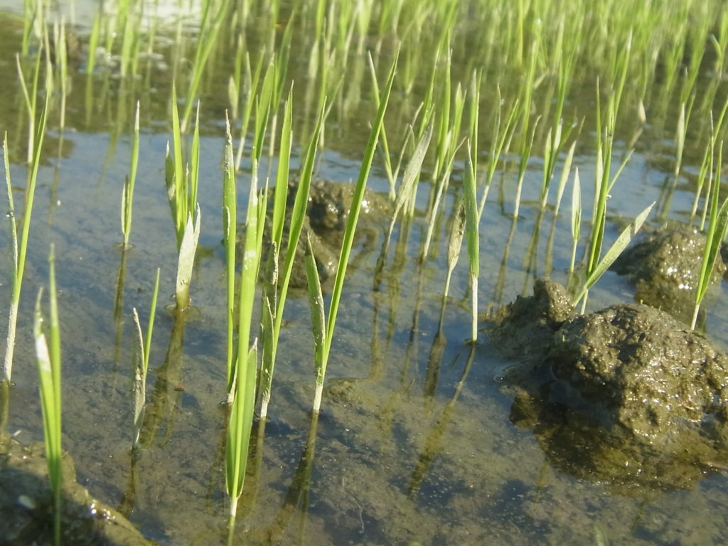稲の苗が数センチに成長。