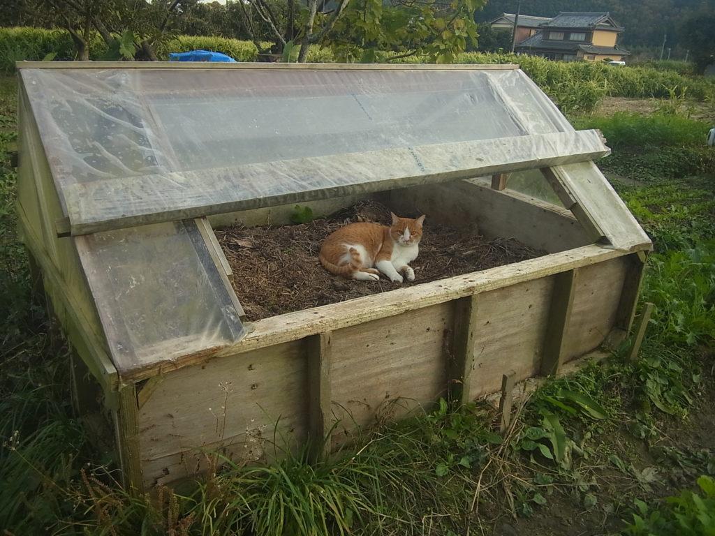 温床ハウスで、くつろぐ茶トラ白猫。