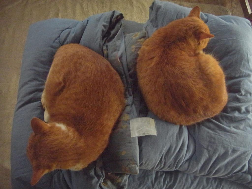 点対称に眠る親子の猫。