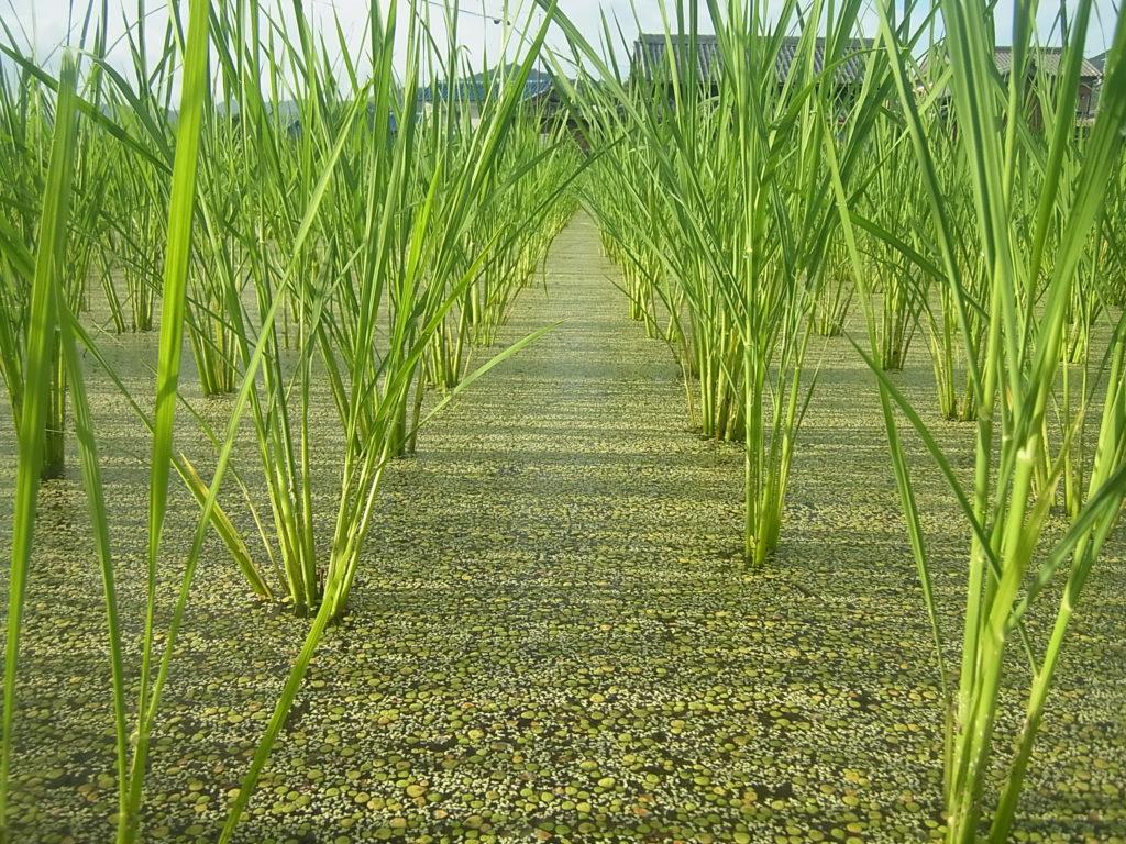 浮草と稲の姿。