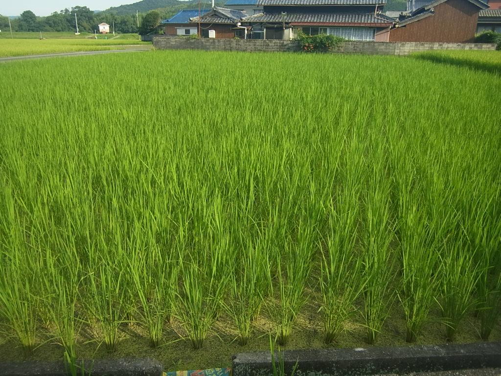 大きく成長中の稲。