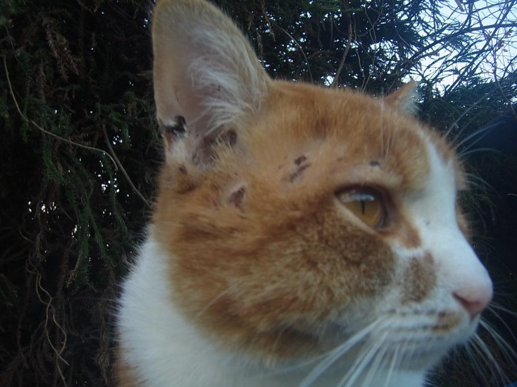 猫の顔が傷だらけ。