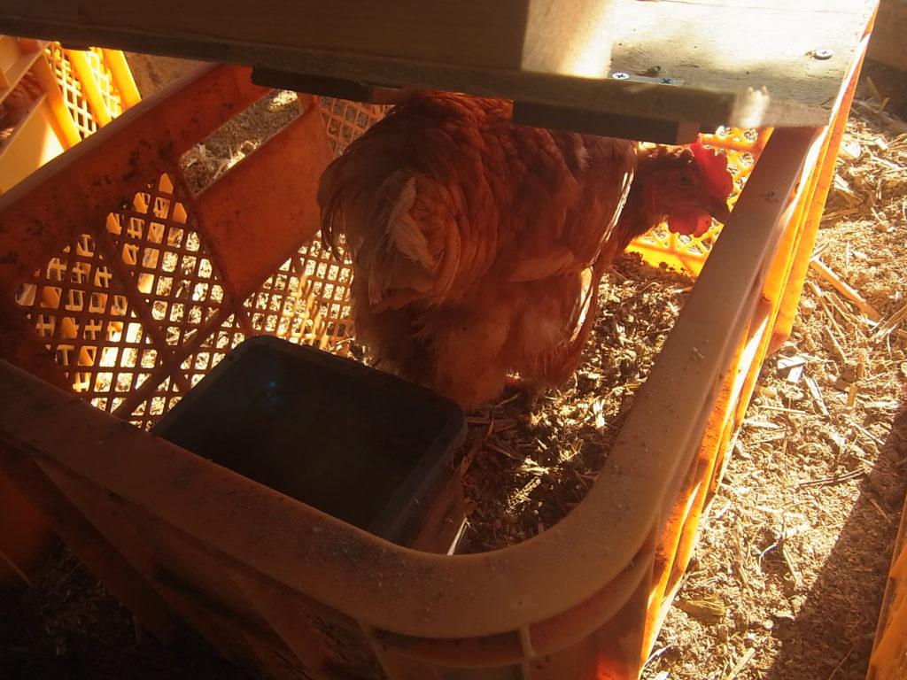 鶏籠に鶏を入れてみる。