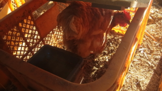 コンテナを使った鶏籠の自作。