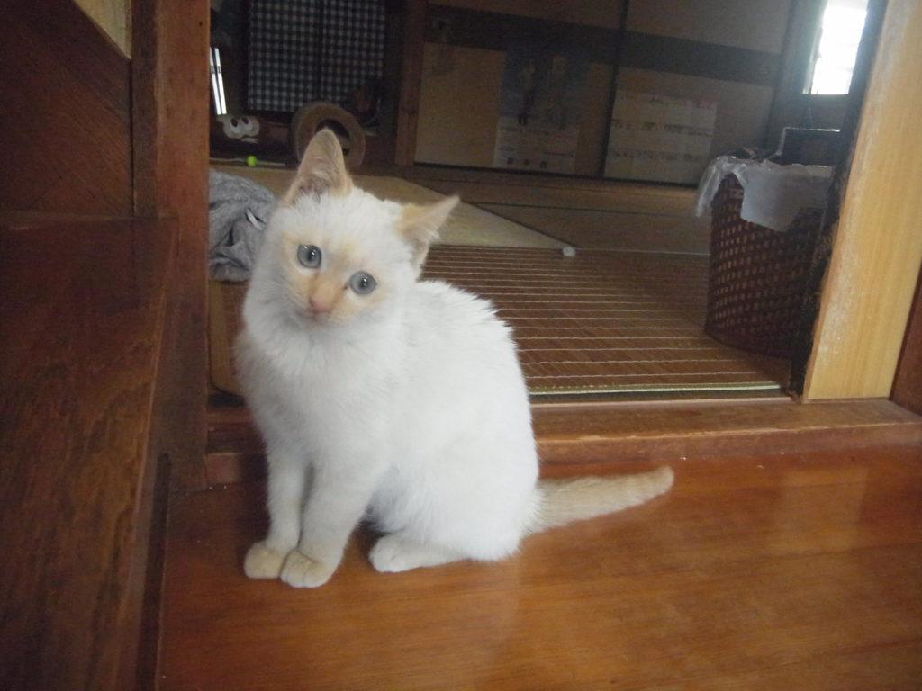 実家の白い猫。